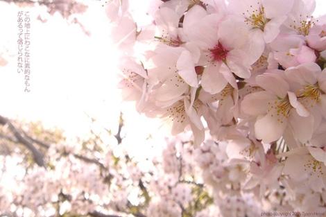 Lãng mạn mùa hoa anh đào