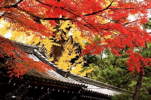 Rẻ quạt rực rỡ Nhật Bản