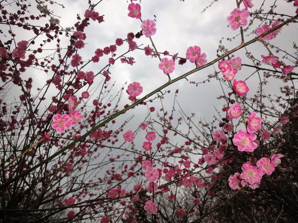 Ngắm hoa mơ giữa xứ hoa anh đào