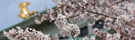Hoa anh đào Nhật Bản