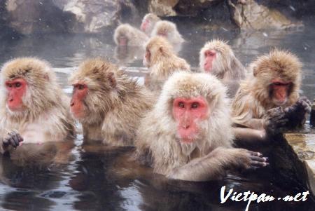 Khỉ Nhật bản