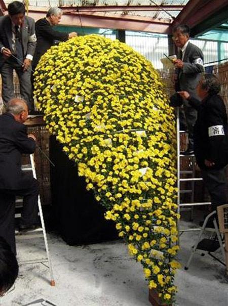 Cây hoa cúc nở hơn 4000 bông