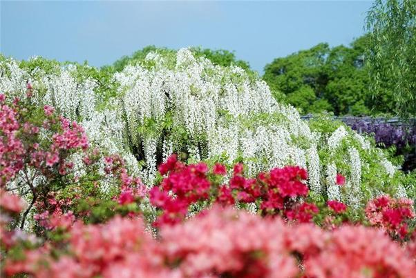 Hoa Tử Đằng ở Nhật Bản,Các loại hoa,hoa ở nhật bản,hoa nhật,hình ảnh nhật bản,hình ảnh hoa