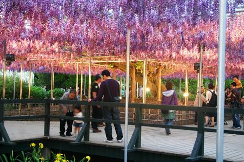 Hoa Tử Đằng ở Nhật Bản