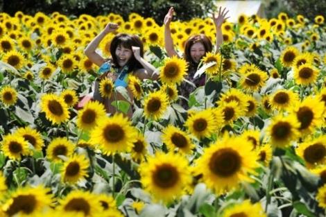 Rực rỡ lễ hội hoa hướng dương ở Nhật Bản