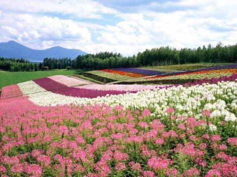 Cánh đồng hoa đẹp hút hồn ở Hokkaido