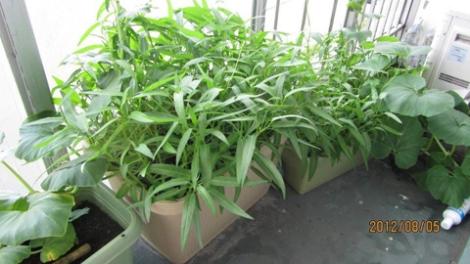 Kinh nghiệm trồng rau muống ở Nhật