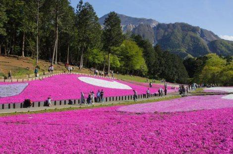 Ground Cherry Blossom in Hokkaido