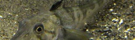 Phát hiện loài cá có máu trong suốt